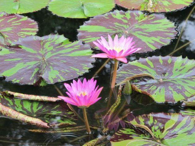 lily pad inspiration photo